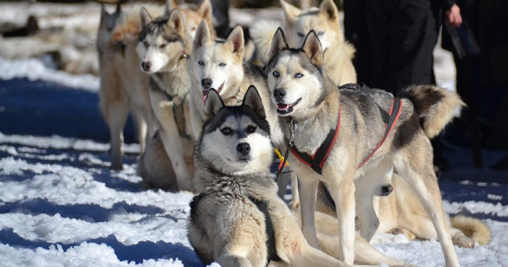 Col Loge_chiens traineau hiver