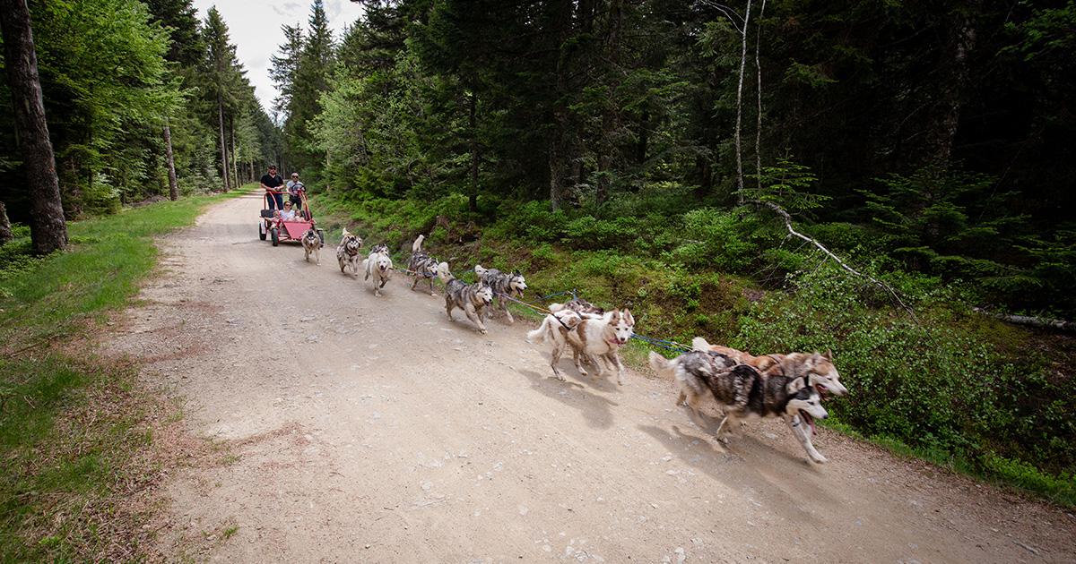 Col de la loge - chiens de traîneau été - 2